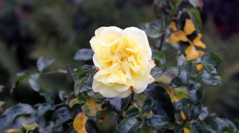 Rose gelb Herbst