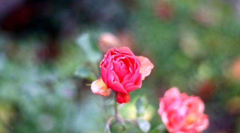 Rose rosa Herbst