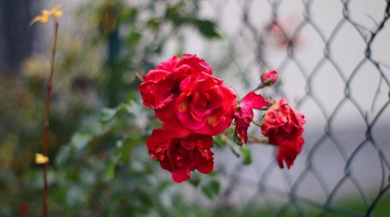 Rose rot Herbst