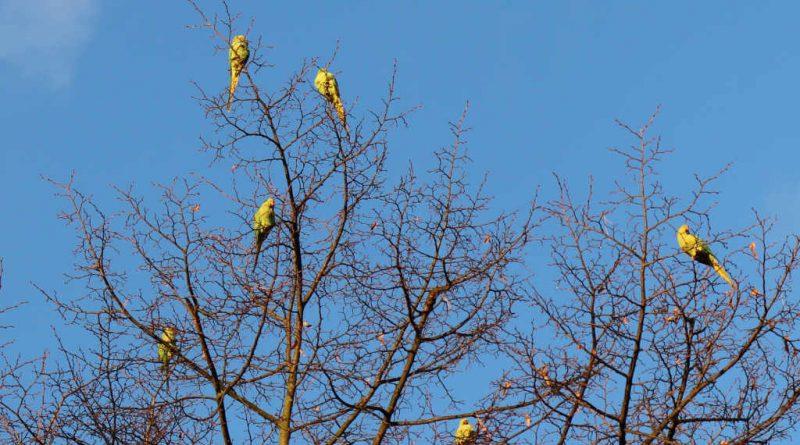 Halsbandsittige auf Baum