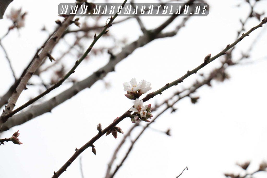 Kirschblüte Rotweinwanderung Schriesheim 2018